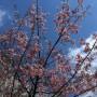 江戸川橋の桜?梅?